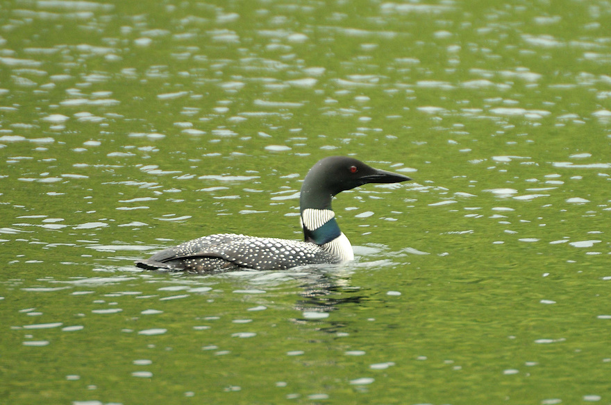 The Common Loon, widely known for it's mournful cries over secluded ponds, on patrol.