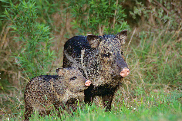Collared Peccary or Javelina (Tayassu tajacu)--mother with young.  American Southwest.