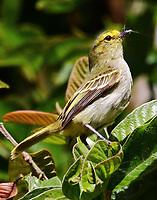 Golden-faced tyrannulet gathering nest materials