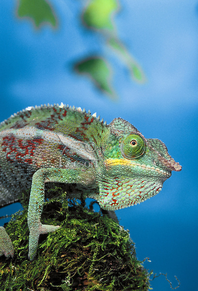Panther Chameleon. Male..Native to Northern & Coastal Madagascar. Captive..(Chamaeleo pardalis).