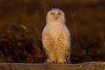 Snowy owl(s), George C. Reifel Migratory Bird Sanctuary, British Columbia, Canada