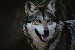 Mexican wolf portrait, Arizona