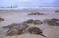 1Y47-122x  Horseshoe Crab - mating on beach at high spring tide -  Limulus polyphemus