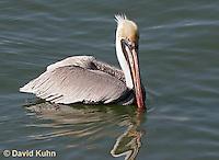 0307-0829  Brown Pelican, Pelecanus occidentalis © David Kuhn/Dwight Kuhn Photography.