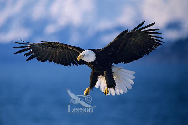 Bald eagle (Haliaeetus leucocephalus) preparing to land.