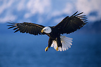 Bald eagle (Haliaeetus leucocephalus) preparing to land.