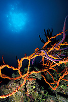 juvenile trumpetfish, Aulostomus maculatus, hides among rope sponges, Aplysina cauliformis (purple) and Rhaphidophlus juniperinus, Bahamas, Caribbean, Western Atlantic Ocean