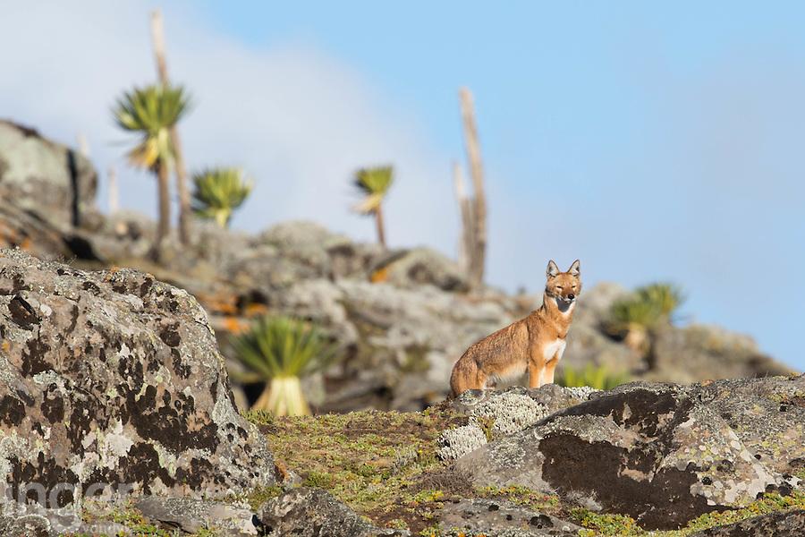 An Ethiopian Wolf in the Mountain Lobelias of the Bale Mountains in Ethiopia