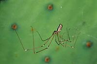 Holocnemus pluchei, Marbled Cellar Spider, Pholcidae, Zitterspinnen