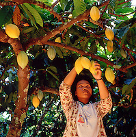 Sabah, Borneo, Malaysia. Worker picking cocoa pods on commercial plantation..