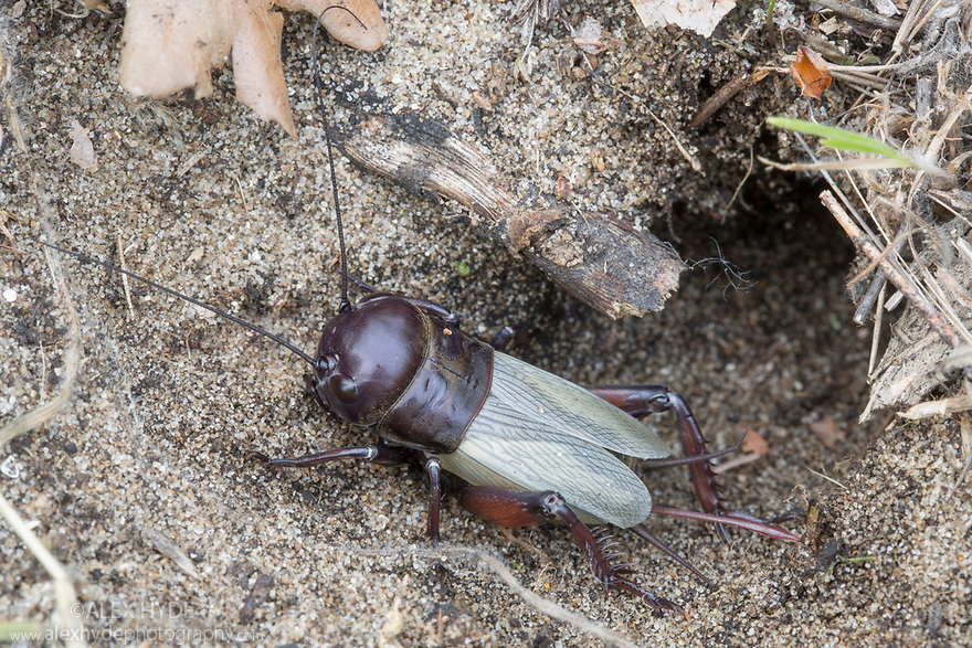 Field Cricket (Gryllus campestris) at entrance to burrow in sand dunes. Danube Delta, Romania. May.