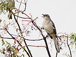 Thrashers, Starlings, Pipits, Waxwings