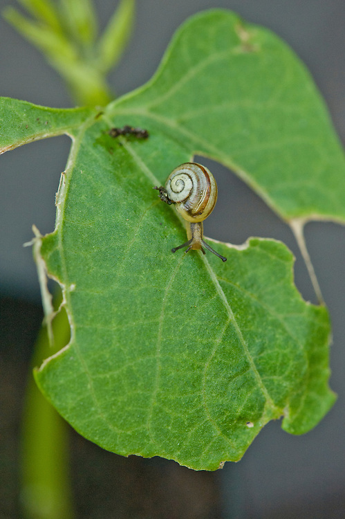 A snail devouring its way through the leaves of a French bean seedling, late May.