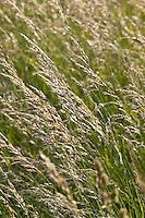 Hoher Glatthafer, Gewöhnlicher Glatthafer, Glatt-Hafer, Arrhenatherum elatius, False Oat Grass, Fromental élevé
