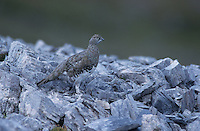 Rock Ptarmigan, Lagopus mutus, female summer plumage, Cassonsgrat, Flims, Alps, Switzerland, Europe..