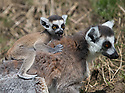 """16/05/16<br /> <br /> """"She's got another thing coming if she thinks I'm actually going to climb up that, on my own""""<br /> <br /> Three baby ring-tail lemurs began climbing lessons for the first time today. The four-week-old babies, born days apart from one another, were reluctant to leave their mothers' backs to start with but after encouragement from their doting parents they were soon scaling rocks and trees in their enclosure. One of the youngsters even swung from a branch one-handed, at Peak Wildlife Park in the Staffordshire Peak District. The lesson was brief and the adorable babies soon returned to their mums for snacks and cuddles in the sunshine.<br /> All Rights Reserved F Stop Press Ltd +44 (0)1335 418365"""