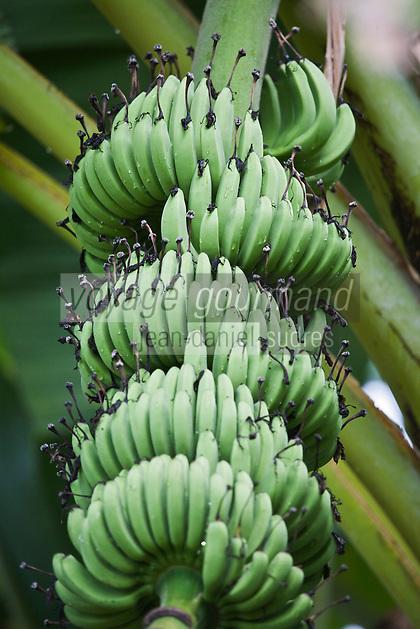 """France/DOM/Martinique/ Sainte-Marie: Plantation bananière """"Le Limbé""""  -Musée de la Banane- Régime de Bananes"""