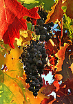 Grapes hang on a vine in Napa Valley, California.