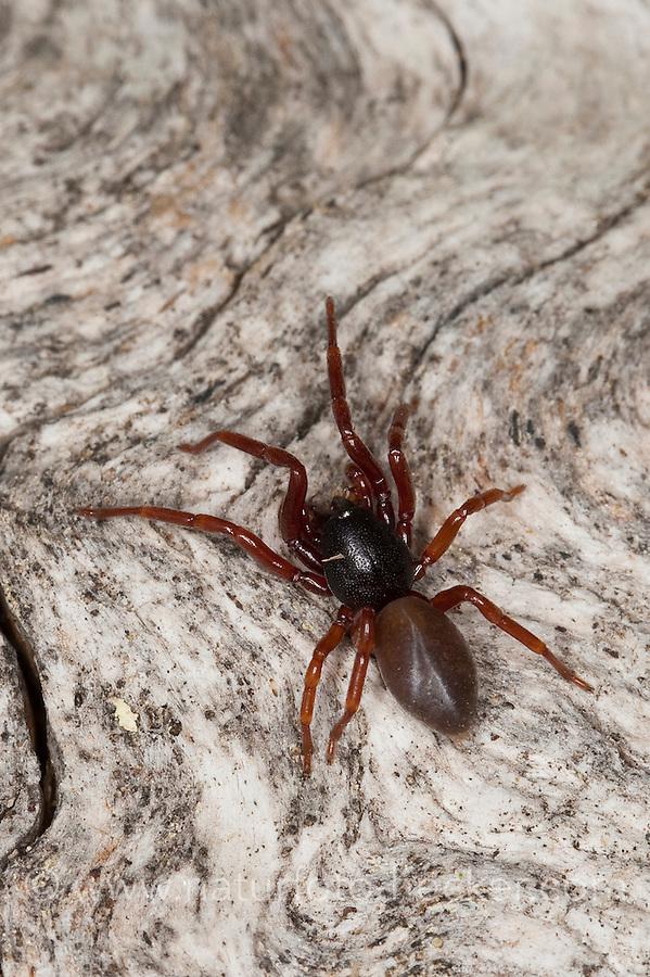 Asseljäger, Asselspinne, Dysdera ninnii, woodlouse spider, woodlouse hunter, sowbug hunter, sowbug killer, pillbug hunter, slater spider, Sechsaugenspinne, Sechsaugen-Spinne, Sechsaugenspinnen, Dunkelspinnen, Walzenspinnen, Sechsauge, Sechsaugen, Dysderidae, woodlouse hunters, sowbug-eating spiders, cell spiders, Österreich, Kärnten