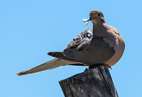A Mourning Dove, Zenaida macroura, preens its feathers in the Desert Botanical Garden, Phoenix, Arizona