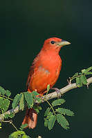 Summer Tanager, Piranga rubra, male on Guajillo (Acacia berlandieri), Willacy County, Rio Grande Valley, Texas, USA, June 2006