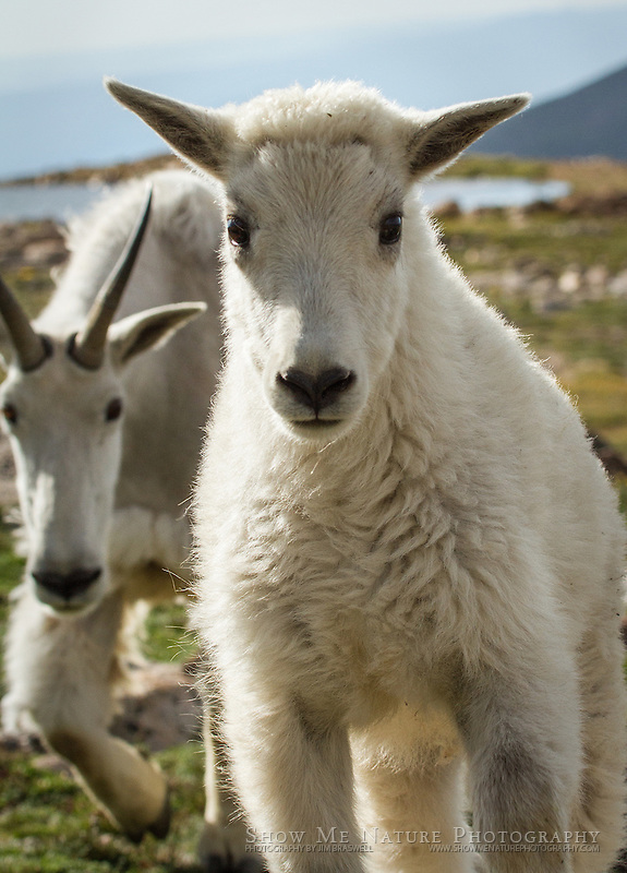 Baby Mountain Goat kid and ewe