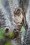 Madagascar Torotoroka Scops Owl (Otus rutilus) in spiny forest canopy. Anjampolo Spiny Forest Reserve, southern Madagascar.