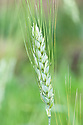Triticum turanicum var. gasimustafakemalii, early July. A form of Khorasan wheat or Oriental wheat commercially known as kamut.