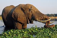 African Elephant bull (Loxodonta africana) feeding in Zambezi River, Mana Pools National Park, Zimbabwe.