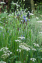 Iris sibirica 'Tropic Night' amongst grasses and cow parsley. Brewin Dolphin Garden, Cleve West, RHS Chelsea Flower Show 2012.
