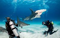 great hammerhead shark, Sphyrna mokkaran, Bimini, Bahamas, Atlantic Ocean