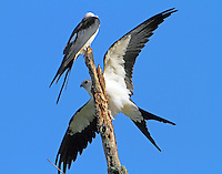 Swallow-tailed kites. Who gets this perch?