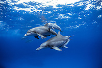 Indo-Pacific bottlenose dolphin, Tursiops aduncus, two pairs of mother and calf, Bonin Islands, Ogasawara Islands, Japan, Pacific Ocean