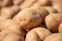 Cold stored 'Jelly' potato seed - Lincolnshire, April