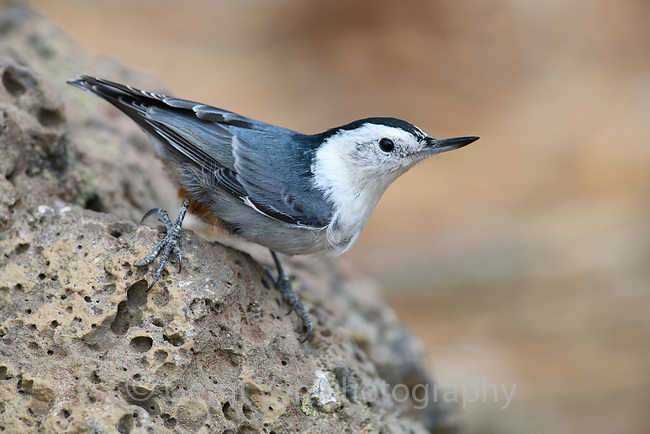 Male White-breasted Nuthatch (Sitta carolinensis). Deschutes National Forest, Oregon. September.