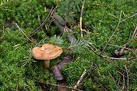 GERMANY, lower saxonia, Forest / DEUTSCHLAND, Niedersachsen, Wald, Waldpflanzen, Moos und Pilz