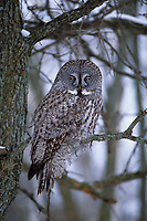 Great Gray Owl (Strix nebulosa) in winter. Ontario, Canada.