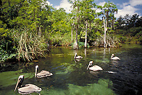 Pelicans swimming on the spring fed Weeki Wachie River, Florida. Birds. landscape, inland waterway, wildlife, animals, sea birds. Florida, Weeki Wachie River.