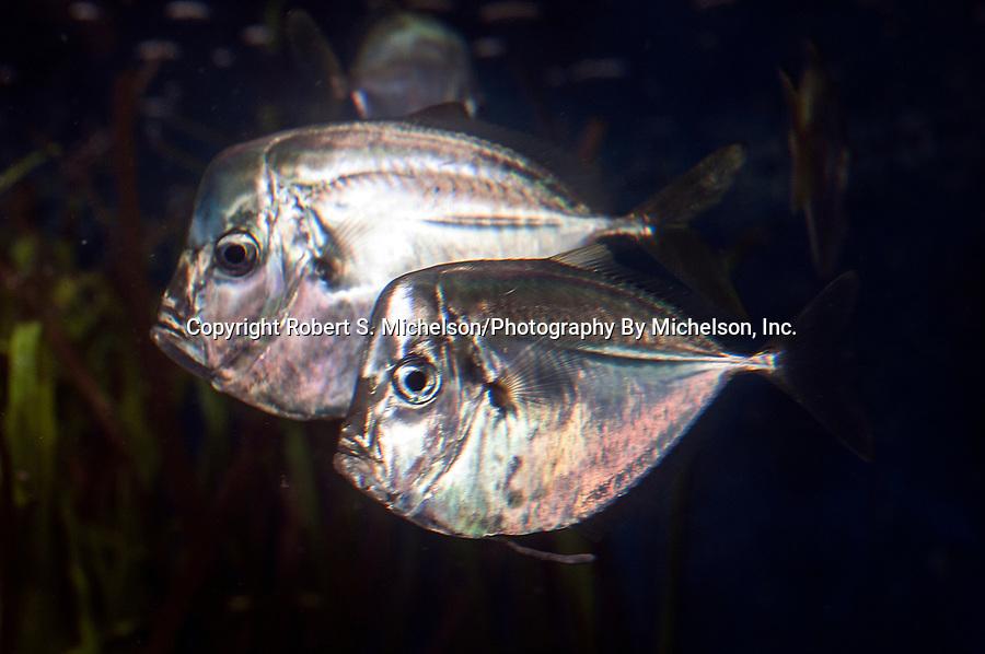 Atlantic Moonfish swimming left 2 shot