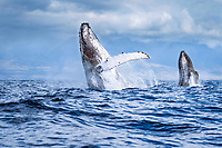 humpback whale, Megaptera novaeangliae, breaching, double breaching, Hawaii, USA, Pacific Ocean