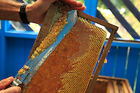 A honey frame being extracted.///Un cadre de miel à l'extraction.