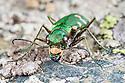 Tiger Beetle {Cicindela hybrida}, Aosta Valley, Monte Rosa Massif, Pennine Alps, Italy. July.
