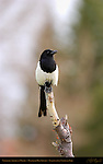 Northern American Magpie, Black-billed Magpie, Mammoth Hot Springs, Yellowstone National Park, Wyoming
