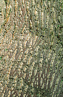 Amerikanischer Tulpenbaum, Tulpen-Baum, Rinde, Borke, Stamm, Magnolie, Liriodendron tulipifera, Canary Whitewood, Tulip Polar, Tulip Tree, bark, rind