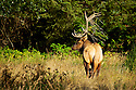 A Roosevelt elk bull displays some greenery for the begining of the rut in Redwoods National Park, CA