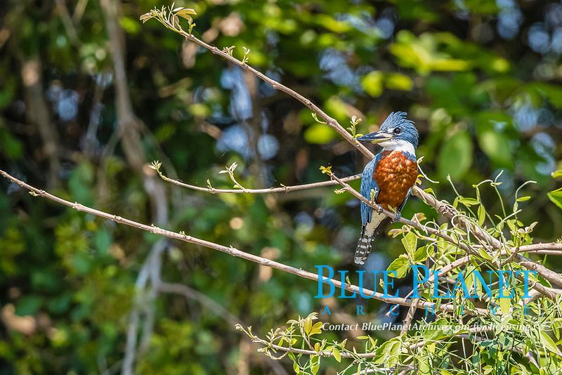 An adult male ringed kingfisher, Megaceryle torquata, Pouso Alegre Fazenda, Brazil, South America