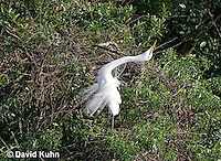0311-0859  Great Egret Performing Breeding Dance, Displaying Breeding Plumage, Ardea alba [In Sequence with 0311-0856, 0311-0859, 0311-0861] © David Kuhn/Dwight Kuhn Photography