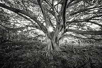 White Fig tree (Higuera blanca, with split leaf philodendron. Punta Mita, Mexico.
