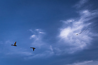 Ducks, a male and female mallard, fly by while a kite with long trailing tail floats against wispy white clouds over a neighborhood park on a late May afternoon.