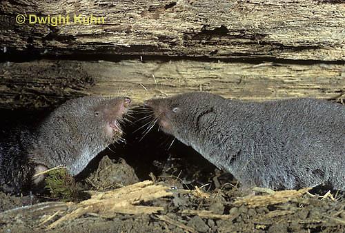 MU19-010z   Short-tailed Shrew - screaming at each other, territorial - Blarina brevicauda